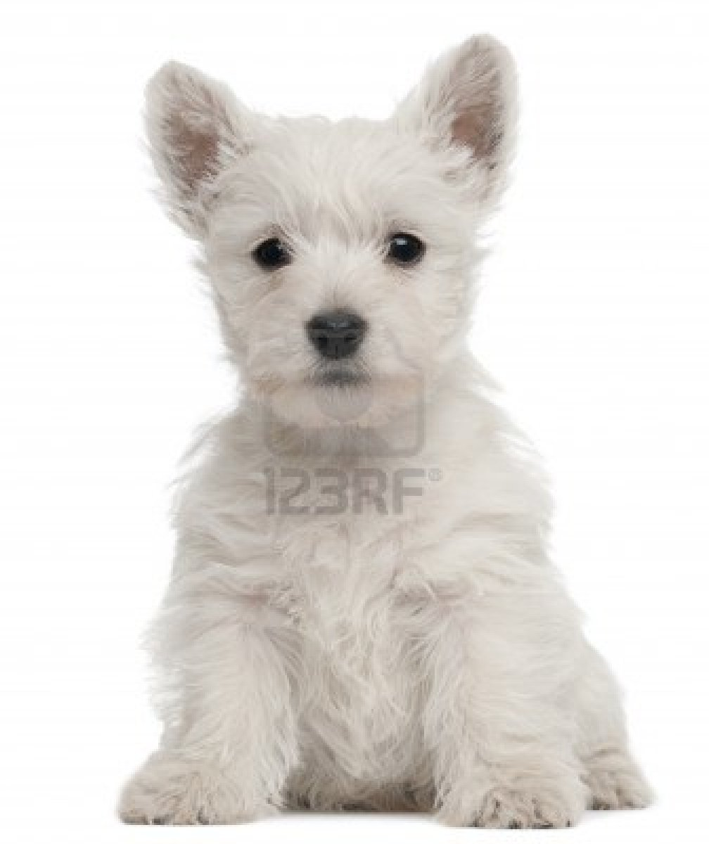 Cute Puppy Dogs: White Yorkshire Terrier Puppies
