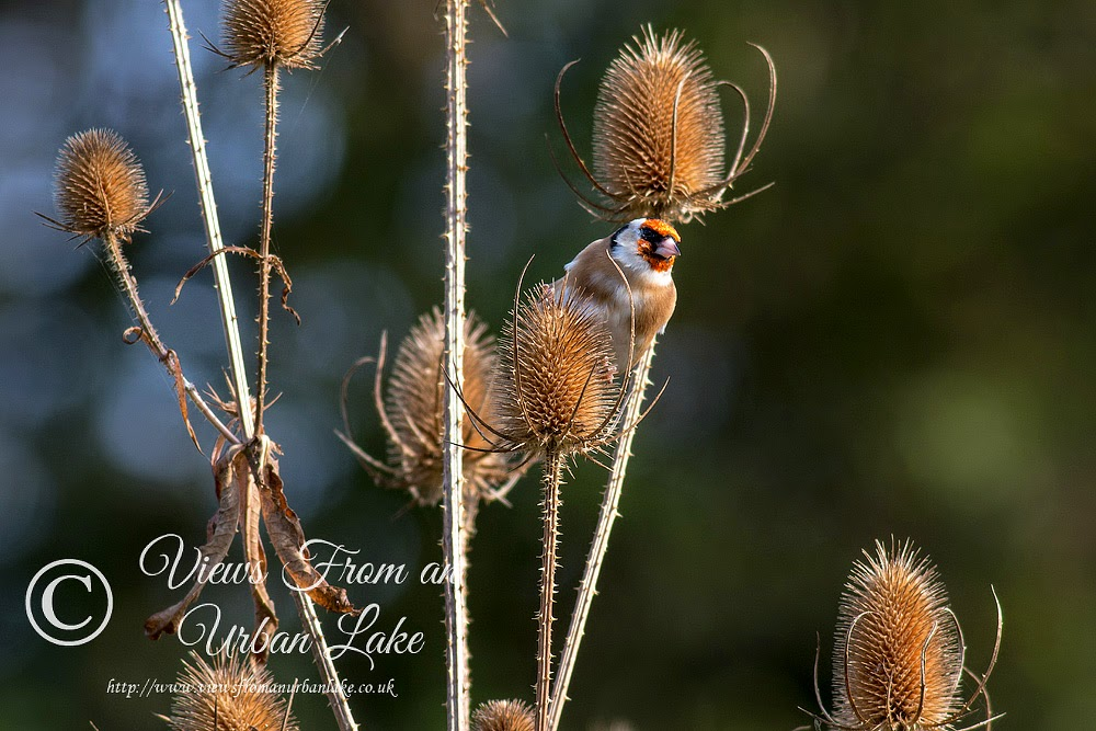 Goldfinch (looking very mean) - Wolverton Mill, Milton Keynes