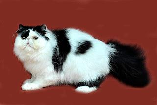 Black White Persian