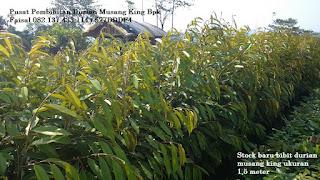 Bibit Durian Musang King Asli Bpk Faisal 082.137.433.114