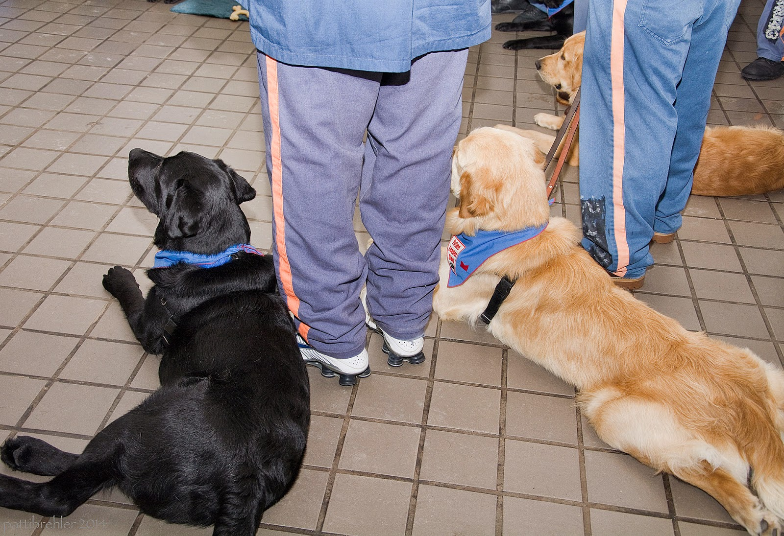 Photo is taken from behind. Three dogs, from left to right a black lab and two golden retrievers, are lying down on a tile floor in a semi-circle; the legs of two men in prison blue pants with orange stripes are standing between them. All are facing away from the camera.