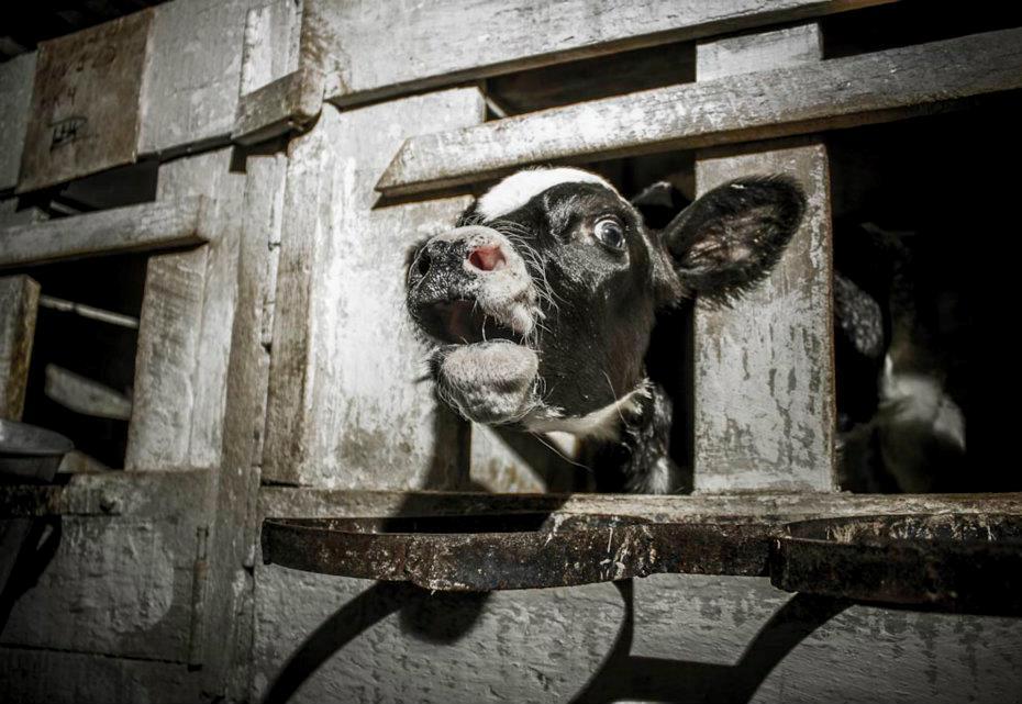Millones de terneros sufren a diario por culpa de quienes consumen leche, queso, yogurt y helados.