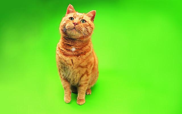 ginger pictures, ginger cat, ginger