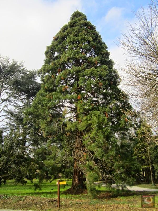 Parque Munoa en Barakaldo (Bizkaia). Secuoya gigante, sequoia gigante, árbol de mamut. Sequoiadendron giganteum