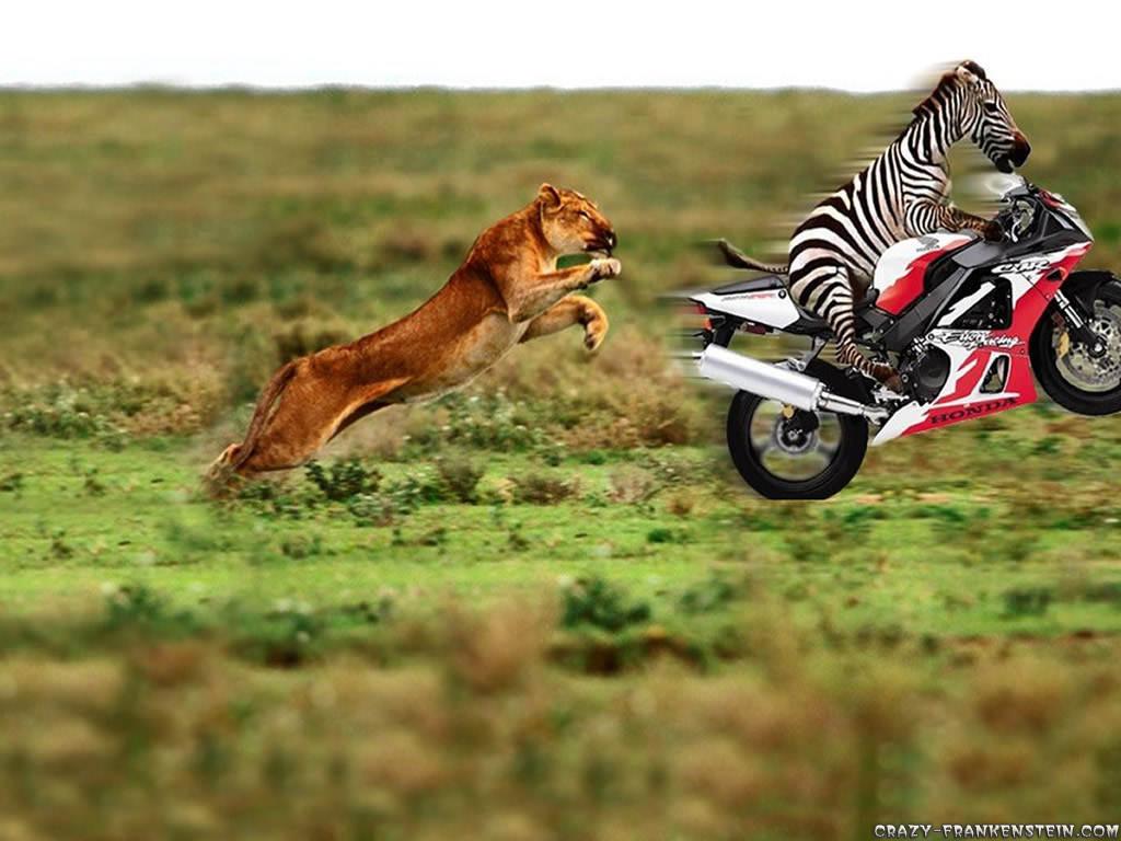 zebra on motorcycle funny animal wallpaper best wallpapers