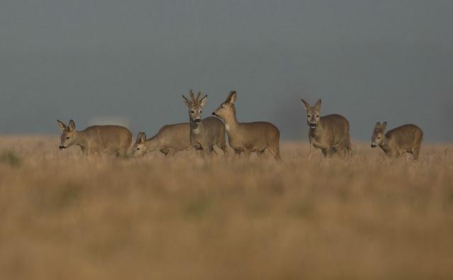 Anmerkung zur Jagd auf Rehwild