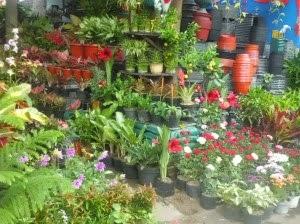 Jual macam-macam tanaman pot | aneka pot pelastik | pot gerabah |tanaman bunga | tanaman bambu | tanaman paku hias
