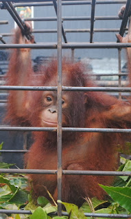 Rescued orangutan Santi is doing well post rescue