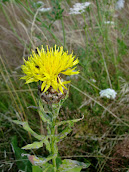 Giant knapweed