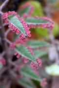 Propágulos foliares