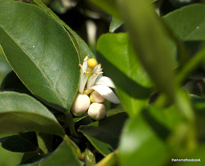 thehomefoodcook - balcony garden - lime flowers