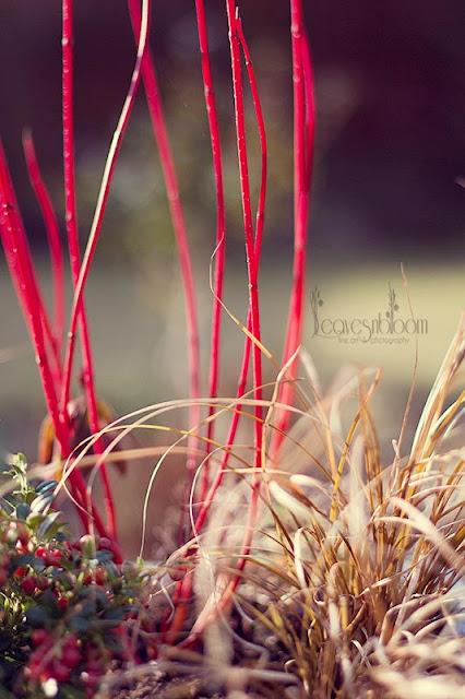 Cornus 'Baton Rouge'