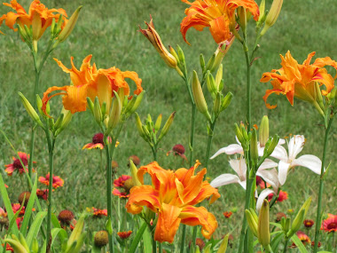 Double Tiger Lilies and Blanket Flowers