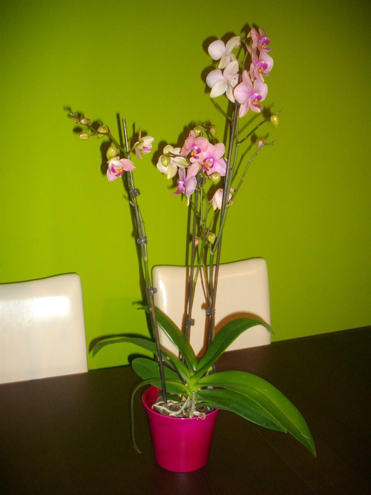 Orqu deas tenerife febrero 2012 - Como cuidar orquideas en maceta ...