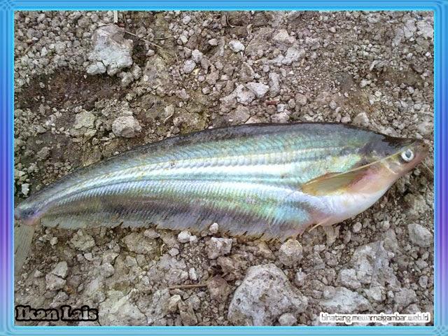 Gambar Ikan Lais
