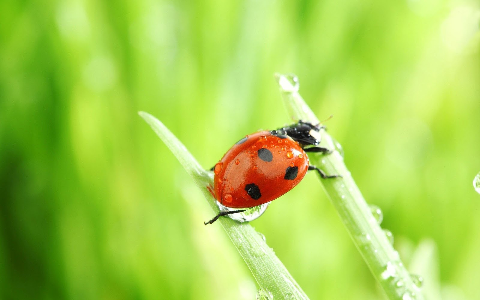 insects ladybirds desktop wallpapers - photo #38