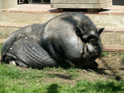 Porc vietnamita al jardí de Can Bolet