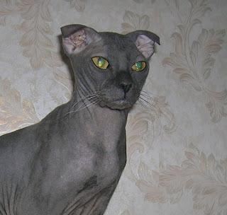 Gambar Kucing Ukrainian Levkoy
