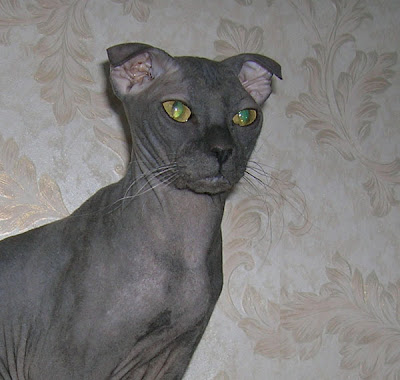 Mengenal Kucing Ukrainian Levkoy
