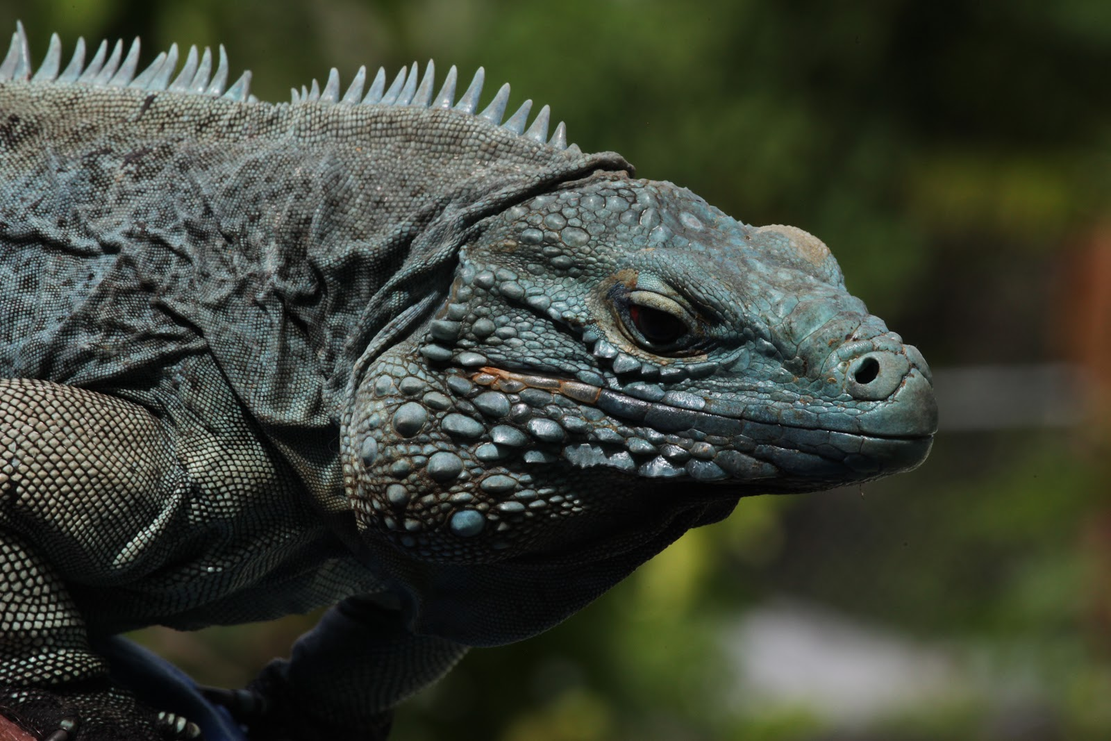 Dinosaur CSI Grand Cayman Blue Iguana A Success Story In Conservation