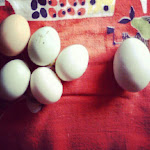Farm Fresh Eggs 2013: 588
