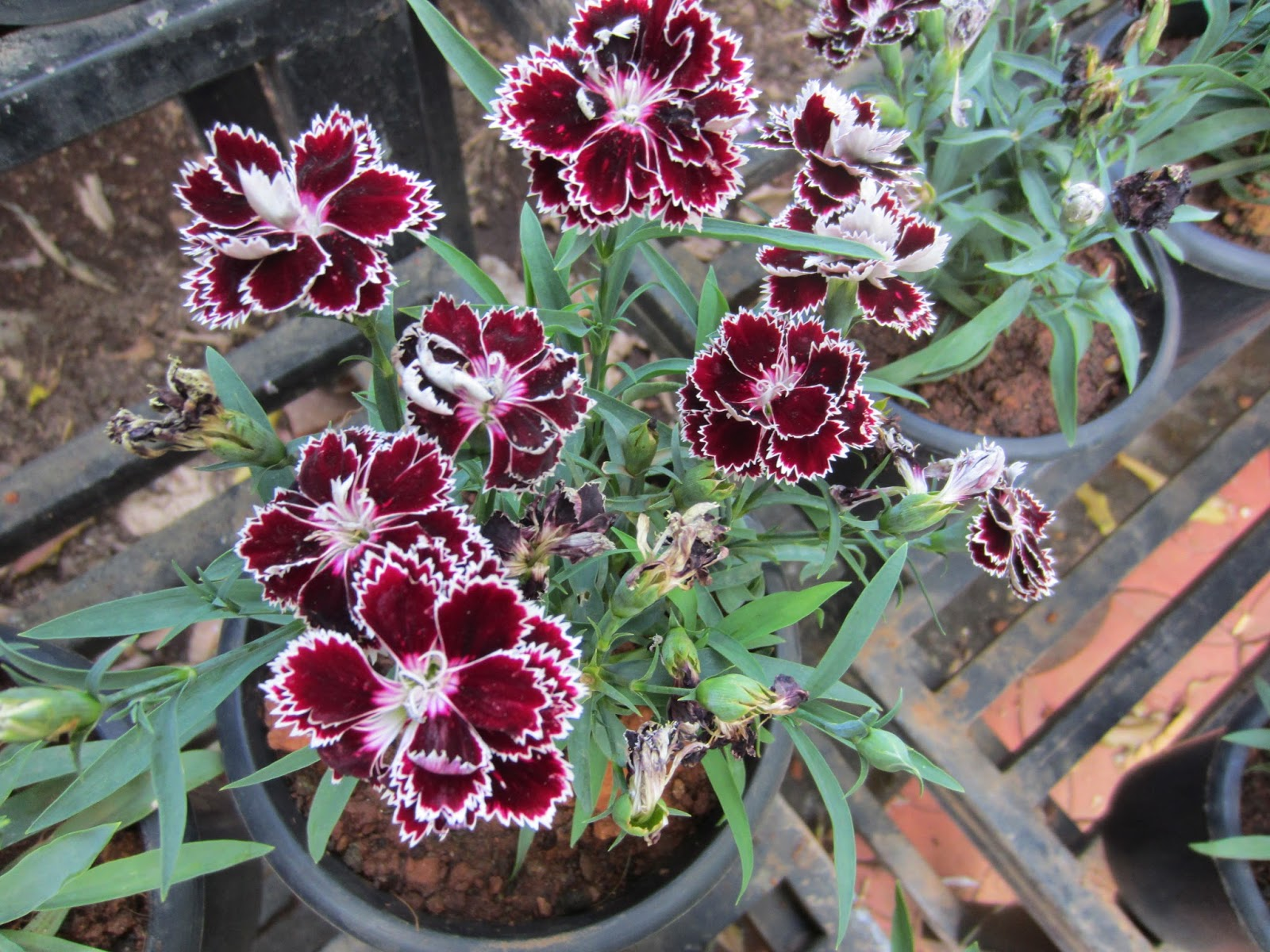 Homesteadgardening Dianthus