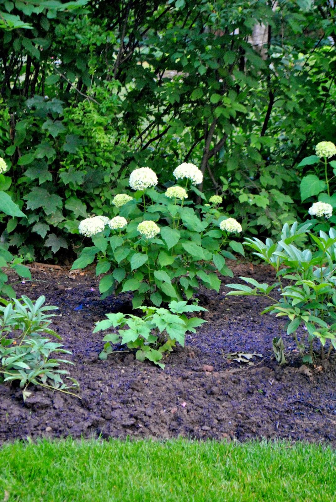 The grower 39 s daughter hydrangeas in the garden for Annabelle hydrangea