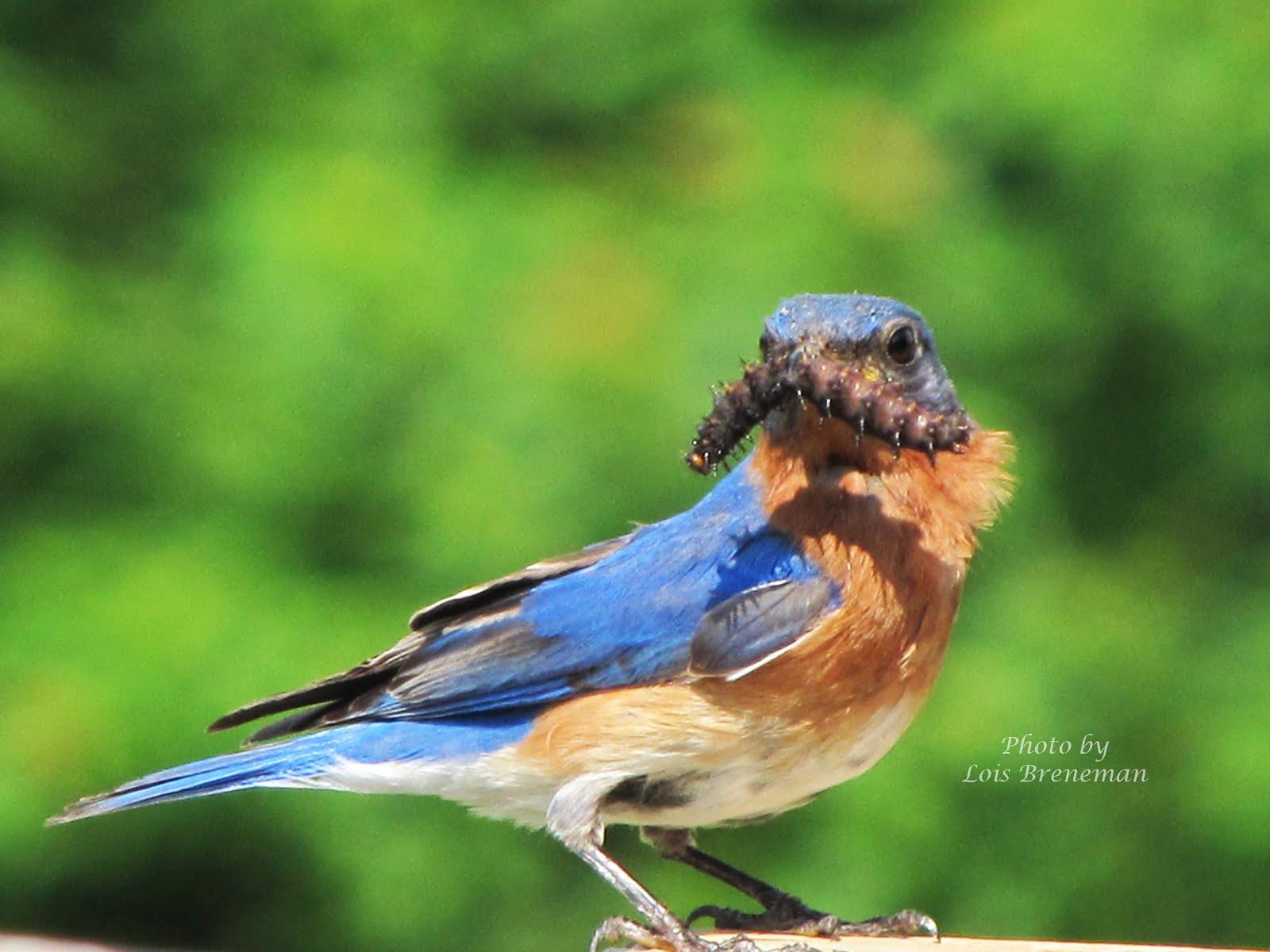 Dinner for a Bluebird!