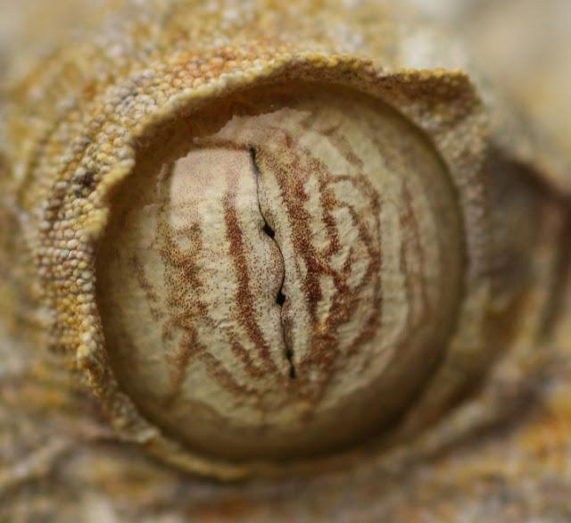 ojos de gecko