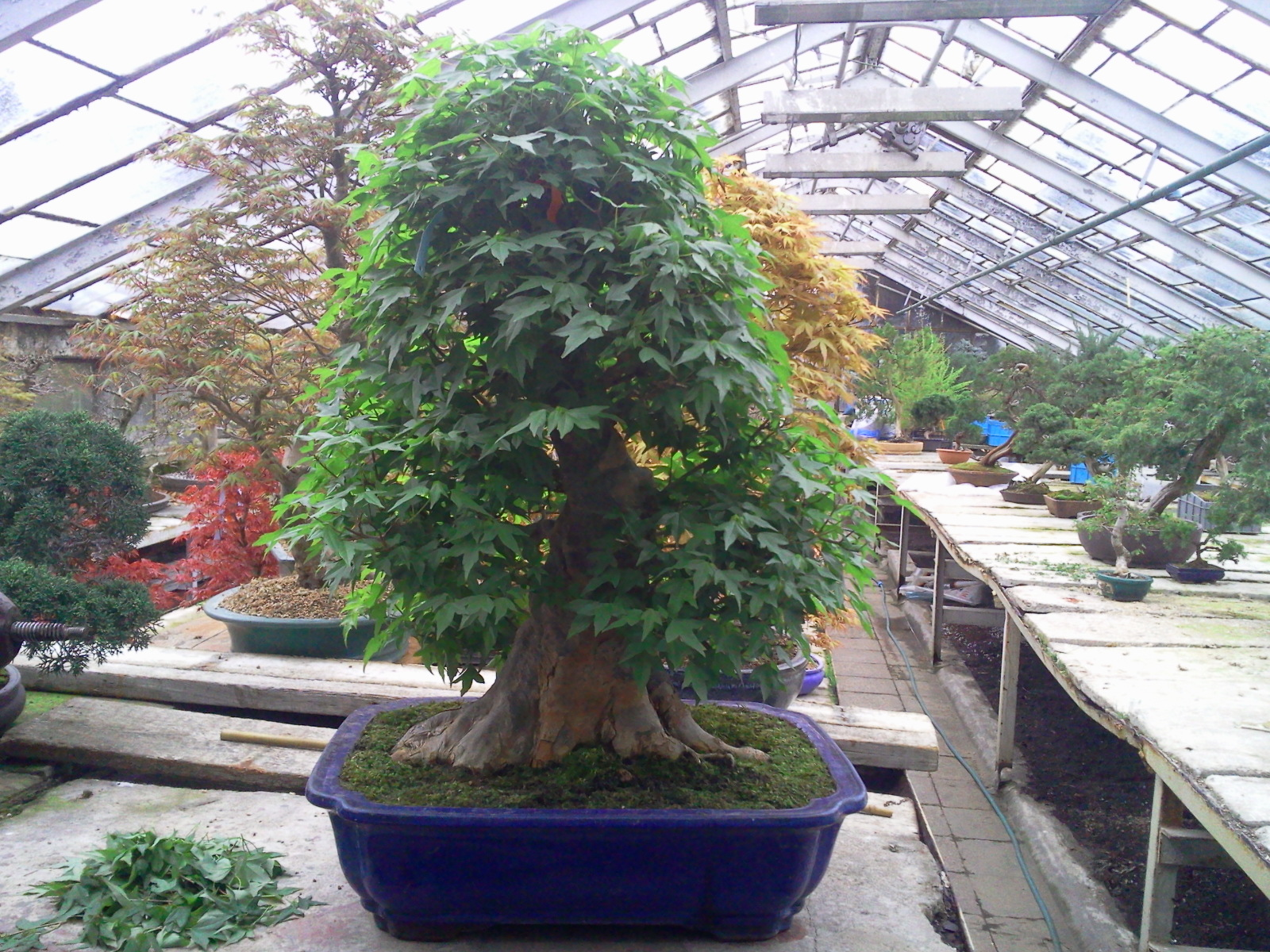 Walter Pall Bonsai Adventures Trident Maple 7