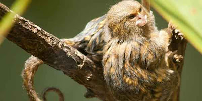 Pygmy Marmosets si MONYET kecil