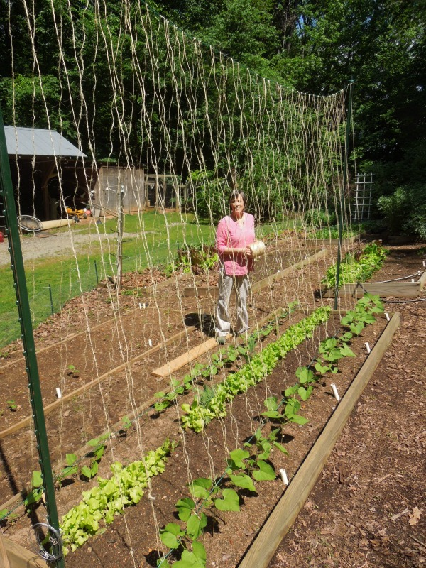 Sue s in the Garden Growing the Groceries Bean Trellis in Place