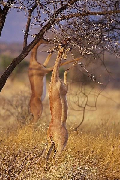 Two gerenuks feeding of a tree