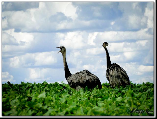 Avestruzes no lago Corumbá 4