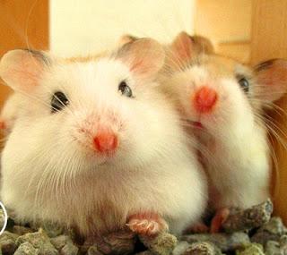 4 Cara mengawinkan Hamster