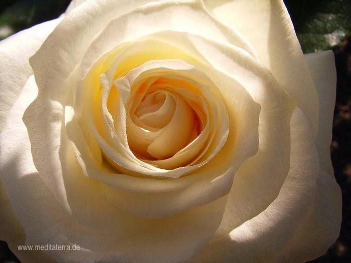 kostenlose rosenfotos kostenlose rosenfotos bilder mit wei en rosen gratis downloaden 8. Black Bedroom Furniture Sets. Home Design Ideas