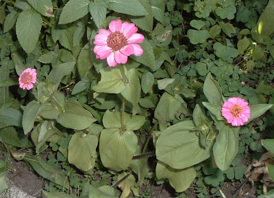 [Photo: Zinnia 'Thumbelina'.]