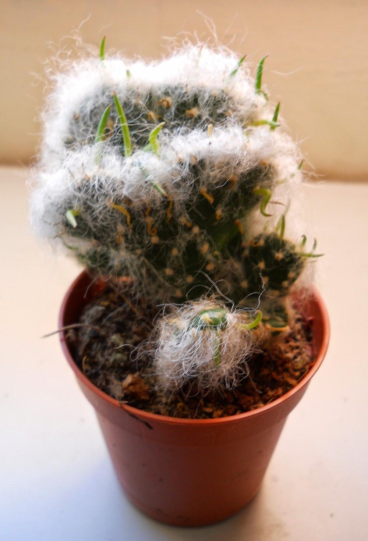 cactus opuntia del hombre viejo