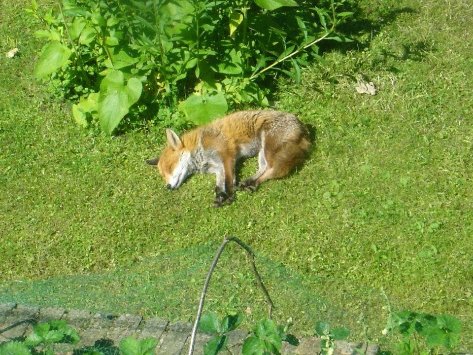 Funny animals of the week - 28 February 2014 (40 pics), a fox sleeping in the yard