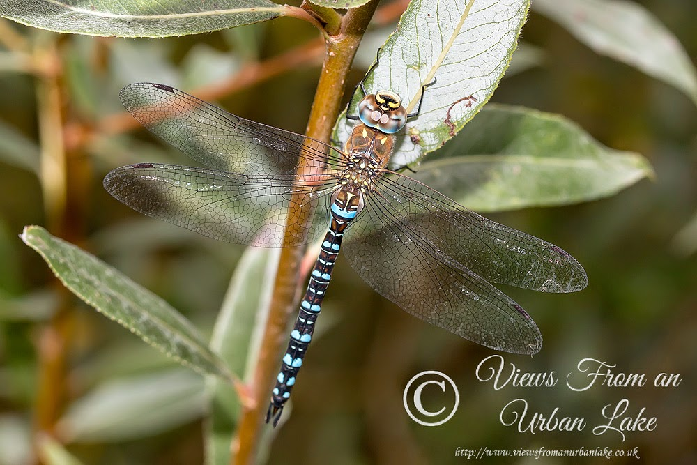 Migrant Hawker, Manor Farm, Milton Keynes