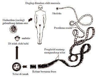Platyhelmintes (Pengertian, Ciri-Ciri, Klasifikasi, Reproduksi & Peranan)