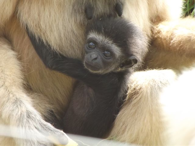 South Lakes Safari Zoo baby gibbon