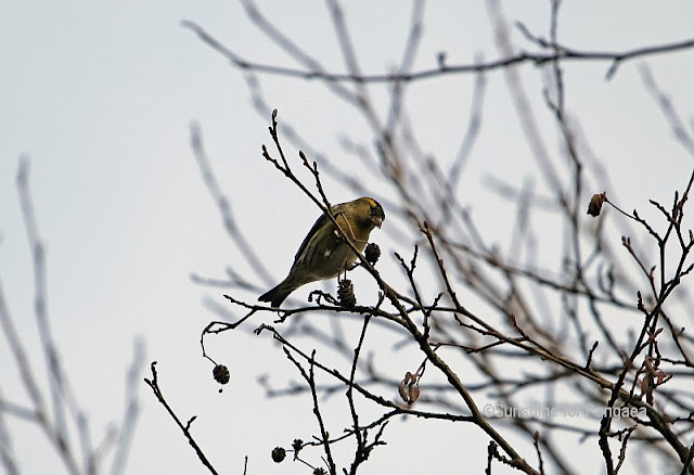 Eurasian Siskin (Carduelis spinus) in Winter