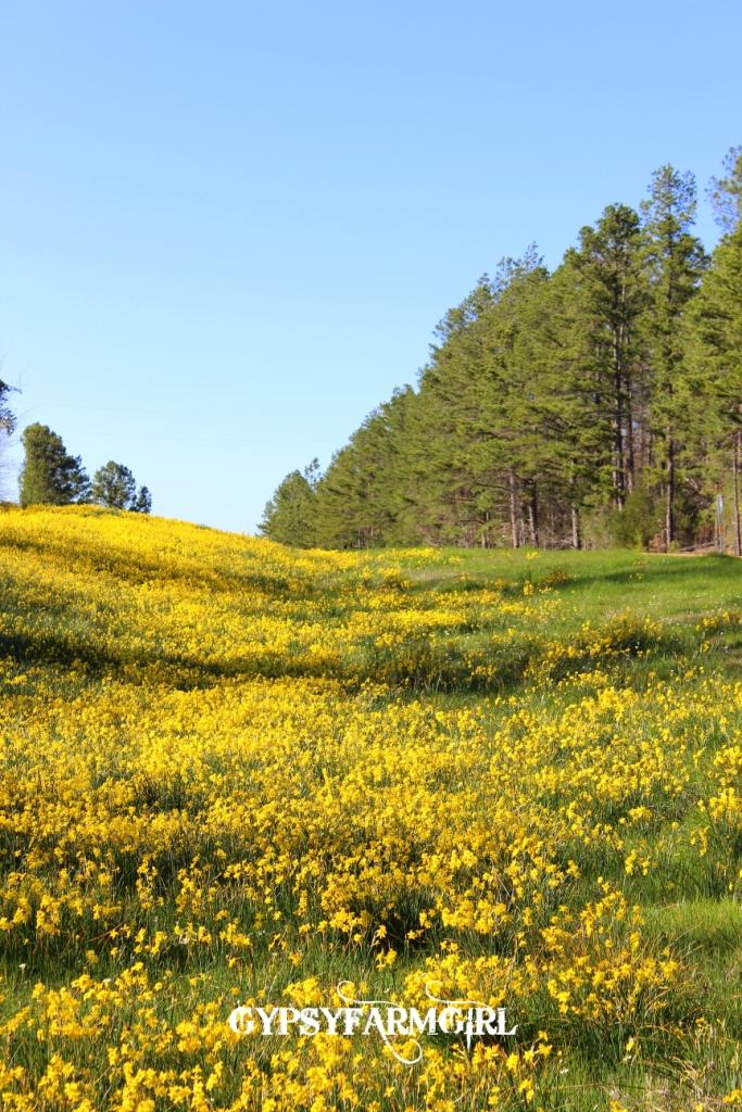 GypsyFarmGirl Daffodil Hill