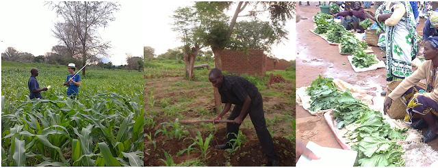 Fieldwork in Malawi; Cultivation and weeding are usually done by small-holder farmers using a hand-held hoe; Locally grown leafy green vegetables being sold at a market in northern Malawi.