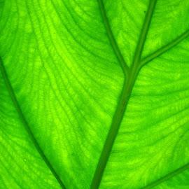 Gambar-gambar daun ukuran besar