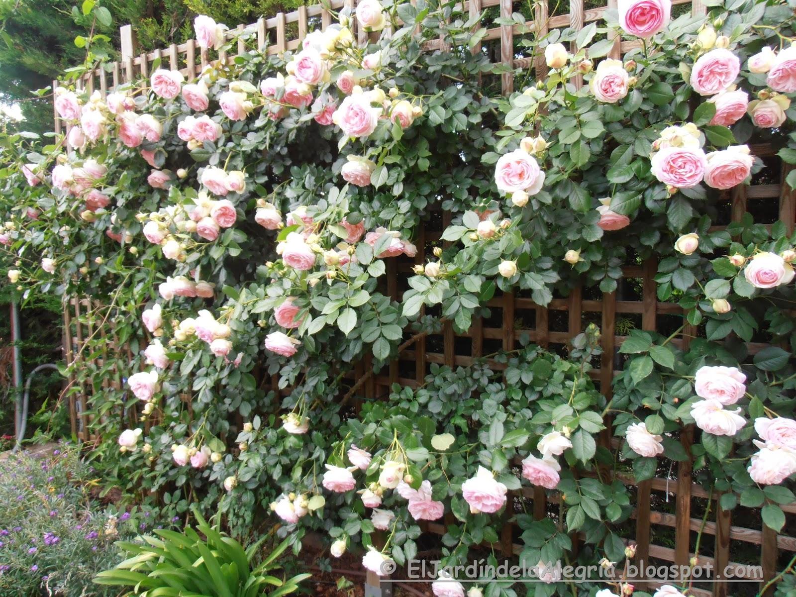 El jardín de la alegría : Cómo se podan los rosales trepadores ...