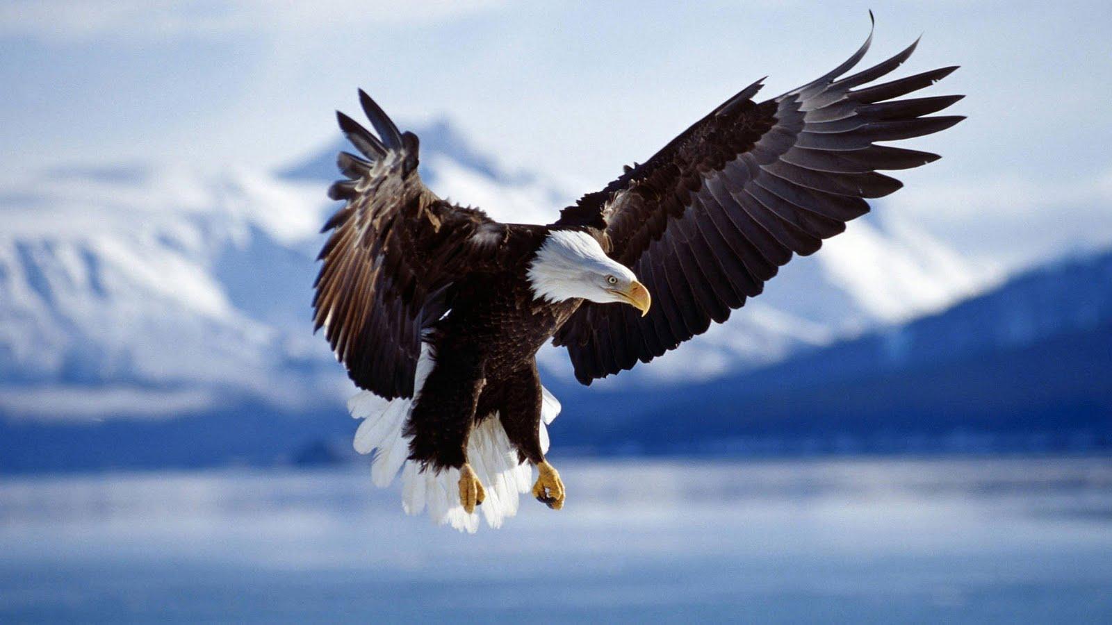 Adelaar achtergronden hd wallpapers - Harpy eagle hd wallpaper ...