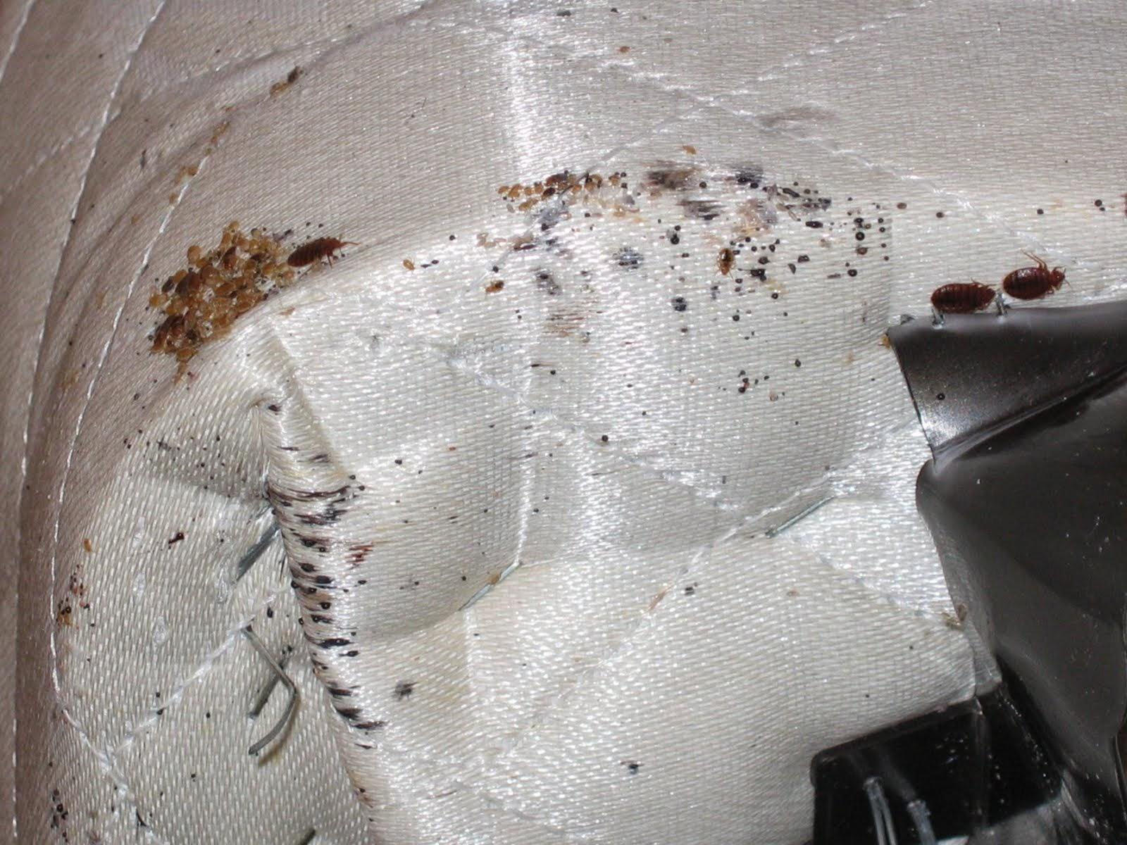 Bedbugschicago 855 855 Bugs Evidence Of Bed Bugs