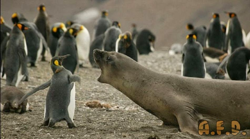 Penguin fighting a seal